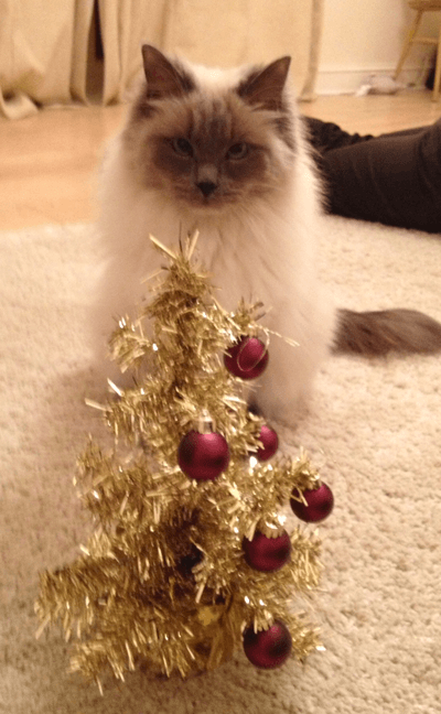 A cross-eyed cat in front of a miniature Christmas tree