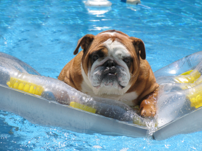 Bulldog on a lilo