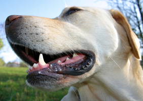 Image of a Labrador