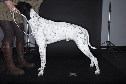 Image of Pointer at Crufts 2014