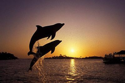 Dolphin - zest pk