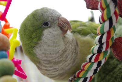 Parrot - Yolanda