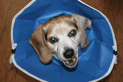 Image of elderly beagle