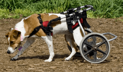 Image of wheelchair dog