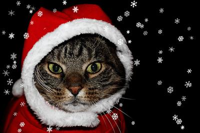Cat in santa outfit