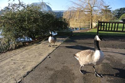 Image of geese at Kew Gardens