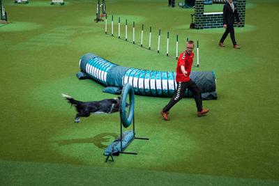 Border collie doing an agility course