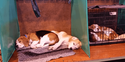Collection of beagles sleeping