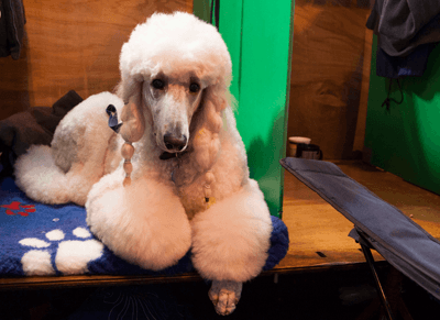 Poodle raising money for Manchester Dog Home
