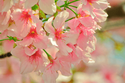 Image of a cherry blossom tree