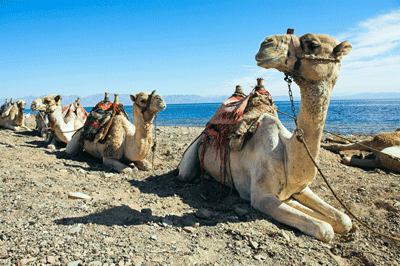 Image of camels in Sharm el-Sheikh