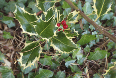 Image of holly and ivy