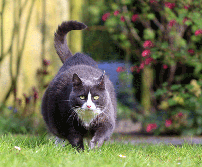 Image of a rotund cat in motion