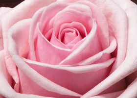 Image of a magnificent pink rose
