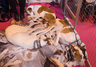 Image of a pile of Ibizan hounds