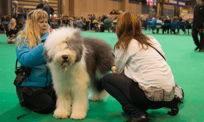 Image of people grooming and old English sheepdog
