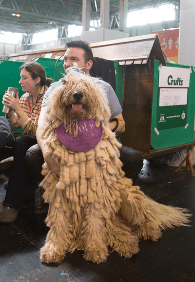 Image of a Komondor