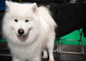 Image of a Samoyed poking its tongue out