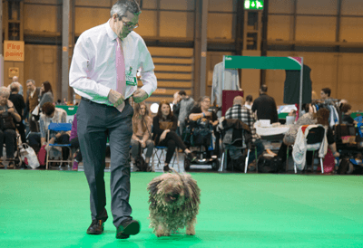 Image of a man walking his Puli around the ring