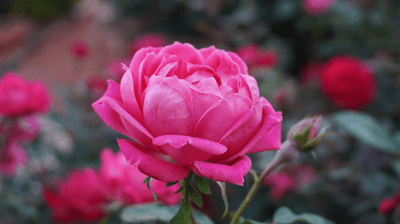 Image of a rose in a garden
