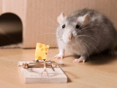 A mouse next to a mousetrap