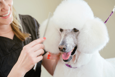 Image of a poodle having its hair cut