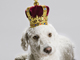 Image of dog with crown