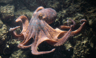 Image of an octopus