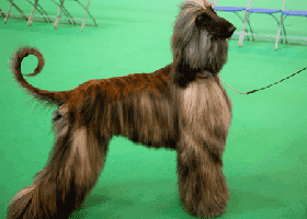 image of an afghan hound
