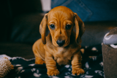 This is a photo of a daschund puppy