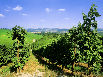 Image of a vineyard in Mosel valley, Luxembourg