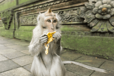 Macaque monkey eating a banana