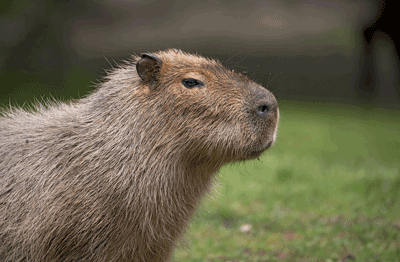Image of a capybara