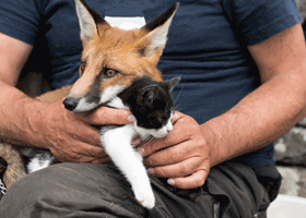 Image of a cat and fox cuddling