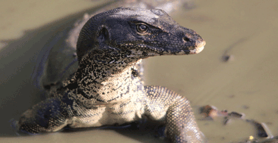 Image of a monitor lizard
