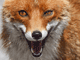 Image of a cheeky fox