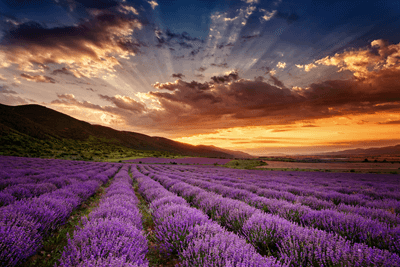 Image of a field of lavender