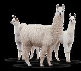 Image of llamas
