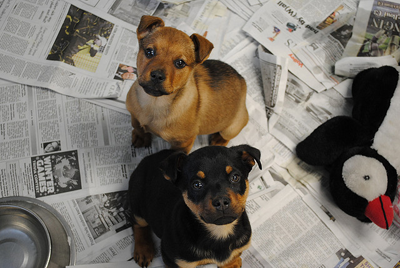 Image of puppies up for adoption - dmuth