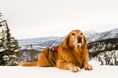 Image of mountain rescue dog