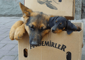 Image of dogs in a cardboard box