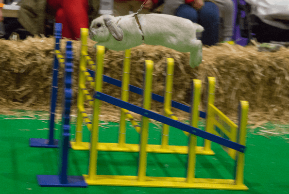 A rabbit competing n showjumping