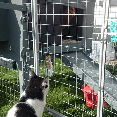 Dudley the cat watching in fascination as a chicken emerges from the coop