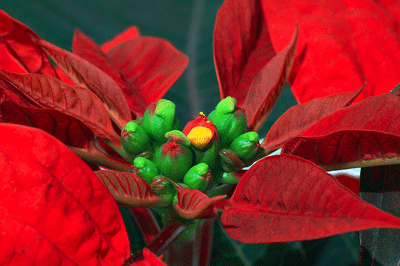 Image of a Poinsettia