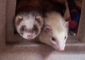 Ferrets raacing through tubes
