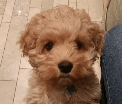 Image of Rory the cockapoo begging for food