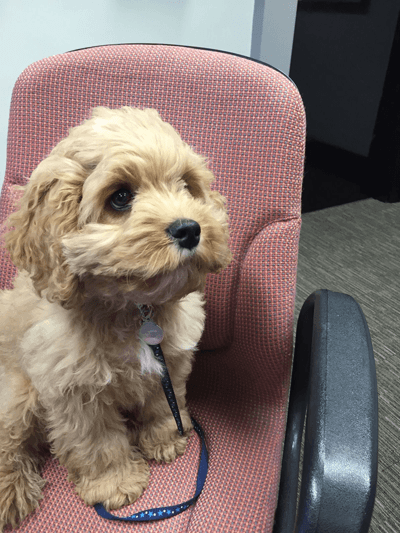 Rory the cockapoo sat on a chair