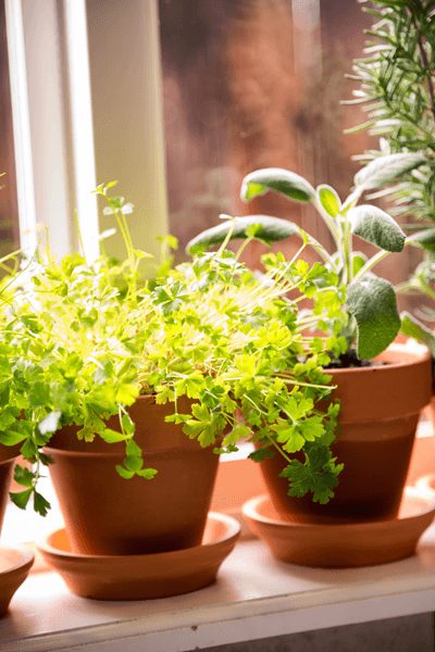 Pots of herbs on a window sill