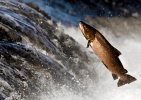 A salmon swimming against the current