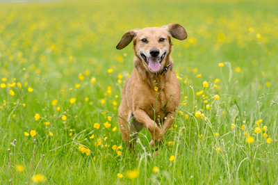 Image of a dog frolicking in a field